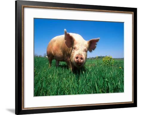 Domestic Pig Portrait, Yorkshire Breed-Lynn M^ Stone-Framed Art Print