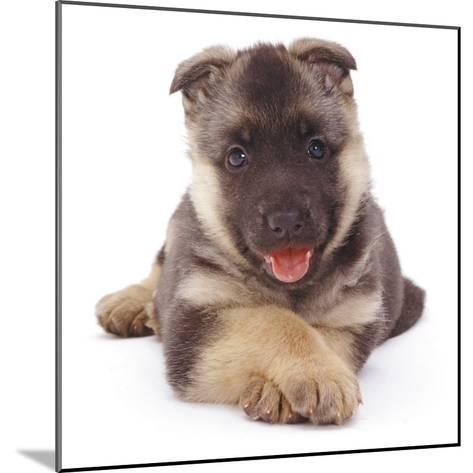 German Shepherd Dog Alsatian Puppy Lying with Paws Crossed-Jane Burton-Mounted Photographic Print