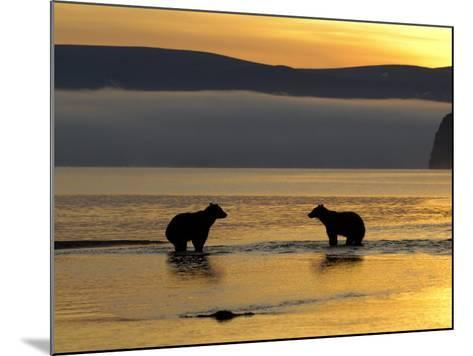 Brown Bears in Water at Sunrise, Kronotsky Nature Reserve, Kamchatka, Far East Russia-Igor Shpilenok-Mounted Photographic Print