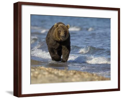 Brown Bear Beside Water, Kronotsky Nature Reserve, Kamchatka, Far East Russia-Igor Shpilenok-Framed Art Print