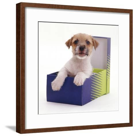Jack in a Box - Jack Russell Terrier Pup in a Shoe Box-Jane Burton-Framed Art Print