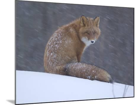 Red Fox Sitting in Snow, Kronotsky Nature Reserve, Kamchatka, Far East Russia-Igor Shpilenok-Mounted Photographic Print