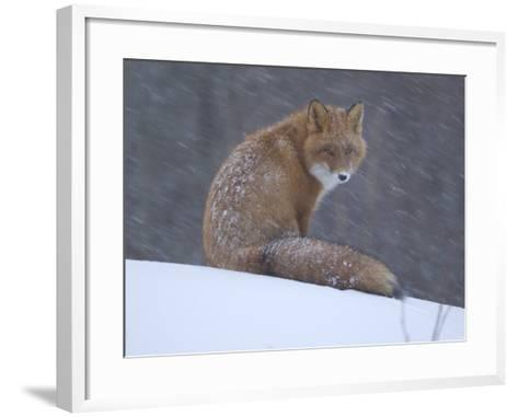 Red Fox Sitting in Snow, Kronotsky Nature Reserve, Kamchatka, Far East Russia-Igor Shpilenok-Framed Art Print