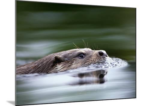 European River Otter Swimming, Otterpark Aqualutra, Leeuwarden, Netherlands-Niall Benvie-Mounted Photographic Print