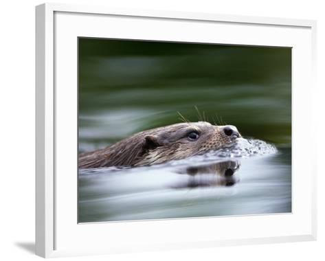 European River Otter Swimming, Otterpark Aqualutra, Leeuwarden, Netherlands-Niall Benvie-Framed Art Print