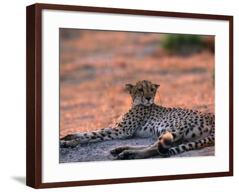 Cheetah Resting, Okavango Delta, Botswana-Pete Oxford-Framed Art Print