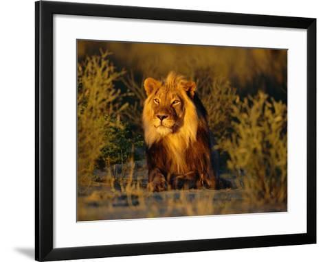 Lion Male, Kalahari Gemsbok, South Africa-Tony Heald-Framed Art Print