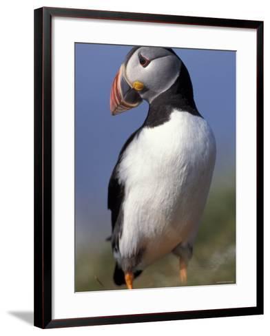 Puffin Portrait, Western Isles, Scotland, UK-Pete Cairns-Framed Art Print