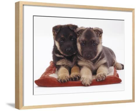 Two German Shepherd Dog Alsatian Pups, 5 Weeks Old, Lying on a Pillow-Jane Burton-Framed Art Print