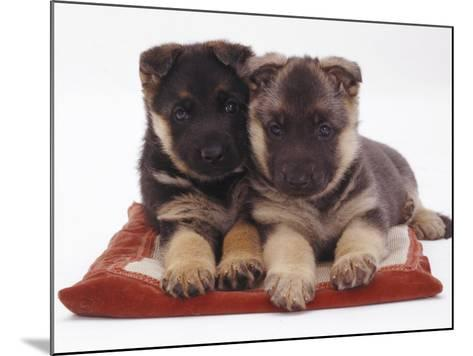 Two German Shepherd Dog Alsatian Pups, 5 Weeks Old, Lying on a Pillow-Jane Burton-Mounted Photographic Print