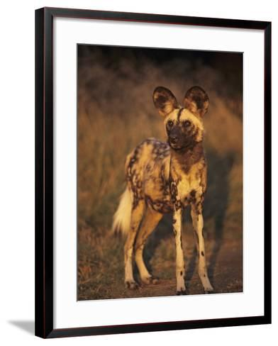 Arican Wild Dog Portrait (Lycaon Pictus) De Wildt, S. Africa-Tony Heald-Framed Art Print