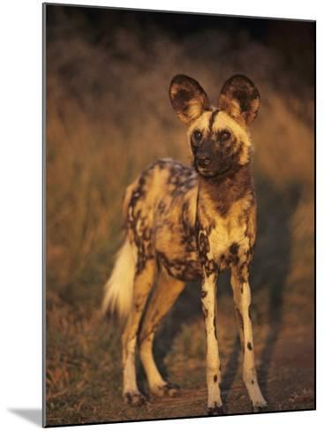 Arican Wild Dog Portrait (Lycaon Pictus) De Wildt, S. Africa-Tony Heald-Mounted Photographic Print