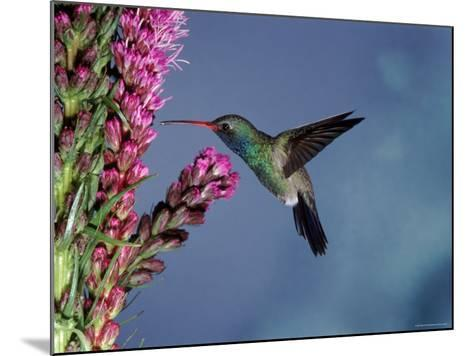Broad Billed Hummingbird (Cynanthus Latirostris) Az, USA Madera Canyon, Arizona-Mary Mcdonald-Mounted Photographic Print