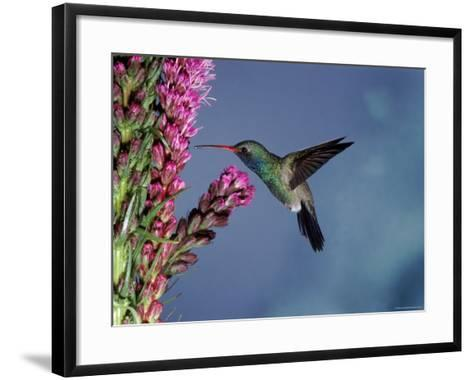 Broad Billed Hummingbird (Cynanthus Latirostris) Az, USA Madera Canyon, Arizona-Mary Mcdonald-Framed Art Print