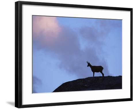 Chamois (Rupicapra Rupicapra) Silhouetted, Gran Paradiso National Park, Italy-Tim Edwards-Framed Art Print