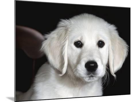 Golden Retriever Puppy-Lynn M^ Stone-Mounted Photographic Print
