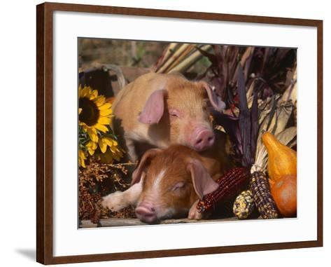 Domestic Piglets, Resting Amongst Vegetables, USA-Lynn M^ Stone-Framed Art Print