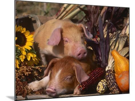 Domestic Piglets, Resting Amongst Vegetables, USA-Lynn M^ Stone-Mounted Photographic Print