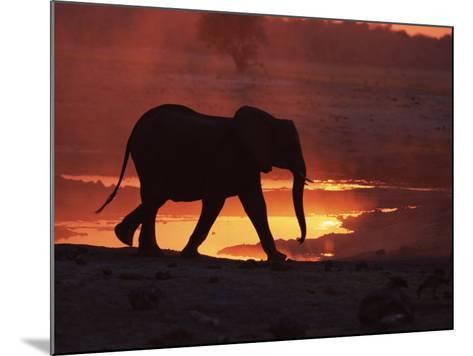 African Elephant, at Sunset Chobe National Park, Botswana-Tony Heald-Mounted Photographic Print