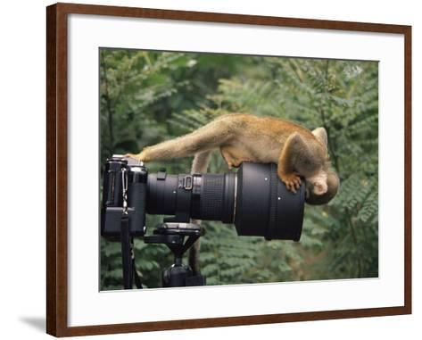 Squirrel Monkey, Investigates Camera, Amazonia, Ecuador-Pete Oxford-Framed Art Print