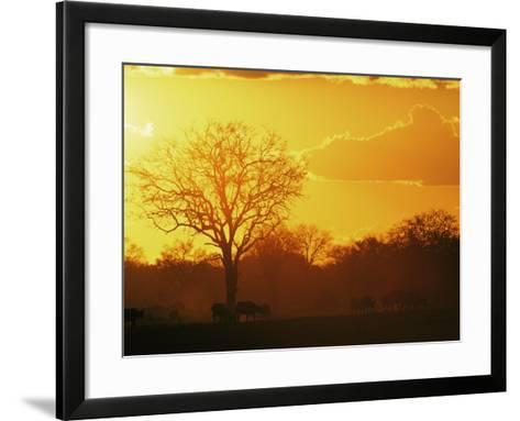African Buffalo, Feeding at Sunset, Hwange National Park, Zimbabwe-Pete Oxford-Framed Art Print