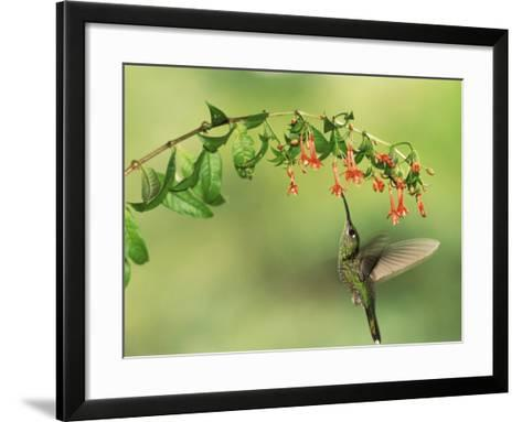 Violet Fronted Brilliant Hummingbird, Manu National Park, Peru-Pete Oxford-Framed Art Print