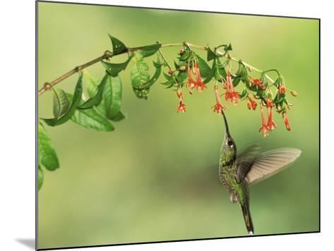 Violet Fronted Brilliant Hummingbird, Manu National Park, Peru-Pete Oxford-Mounted Photographic Print