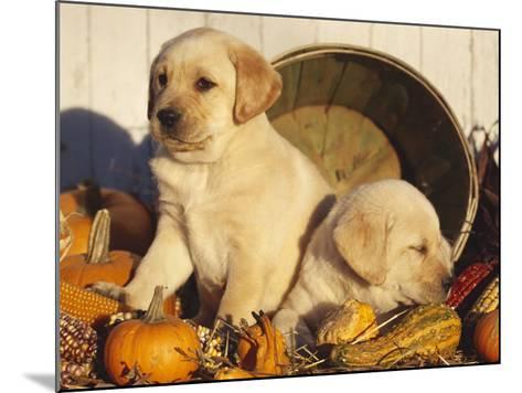Golden Labrador Retriever Puppies, USA-Lynn M^ Stone-Mounted Photographic Print