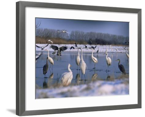 Great Egrets, and Grey Herons, on Frozen Lake, Pusztaszer, Hungary-Bence Mate-Framed Art Print
