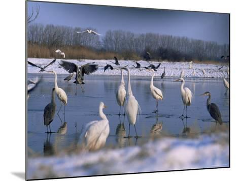 Great Egrets, and Grey Herons, on Frozen Lake, Pusztaszer, Hungary-Bence Mate-Mounted Photographic Print