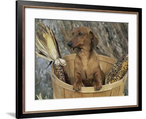 Smooth Haired Dachshund Dog (Canis Familiaris)-Lynn M^ Stone-Framed Art Print