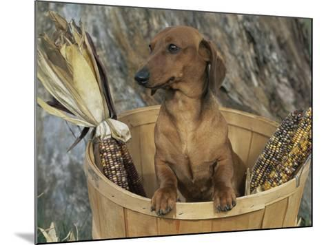 Smooth Haired Dachshund Dog (Canis Familiaris)-Lynn M^ Stone-Mounted Photographic Print