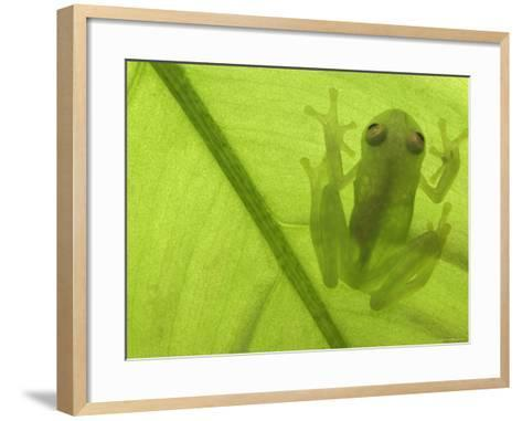 Glass Frog, Amazonia, Se Ecuador-Pete Oxford-Framed Art Print