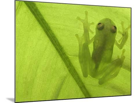 Glass Frog, Amazonia, Se Ecuador-Pete Oxford-Mounted Photographic Print