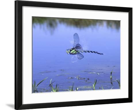 Southern Hawker Dragonfly Male Hovering Over Pond, UK-Kim Taylor-Framed Art Print