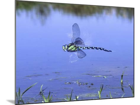 Southern Hawker Dragonfly Male Hovering Over Pond, UK-Kim Taylor-Mounted Photographic Print