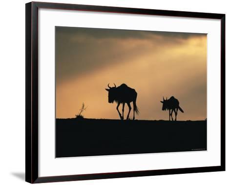 Two Wildebeest, at Sunset, Kenya-Terry Andrewartha-Framed Art Print
