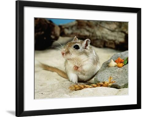 Gerbils at Play-Steimer-Framed Art Print