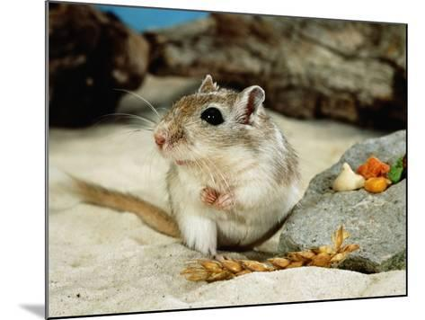 Gerbils at Play-Steimer-Mounted Photographic Print