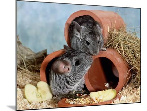 Long-Tailed Chinchillas at Play-Steimer-Mounted Photographic Print