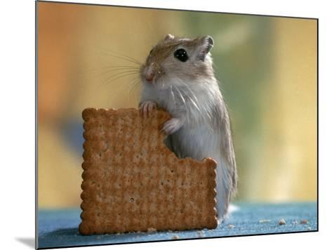 Gerbil Eating Biscuit-Steimer-Mounted Photographic Print
