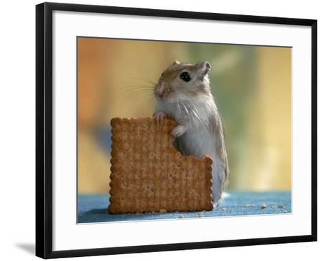Gerbil Eating Biscuit-Steimer-Framed Art Print