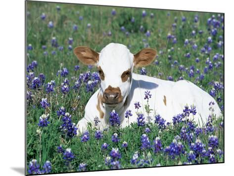 Domestic Texas Longhorn Calf, in Lupin Meadow, Texas, USA-Lynn M^ Stone-Mounted Photographic Print