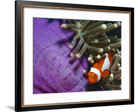 False Clown Anemonefish in Anemone Tentacles, Indo Pacific-Jurgen Freund-Framed Art Print