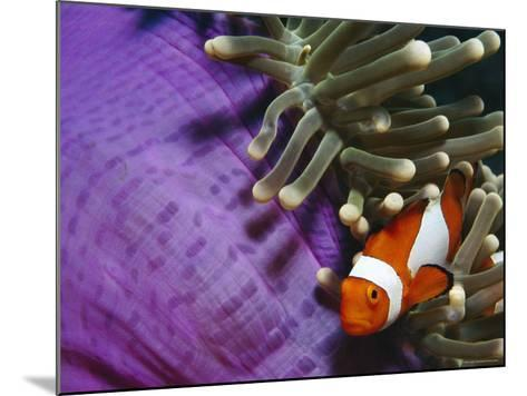 False Clown Anemonefish in Anemone Tentacles, Indo Pacific-Jurgen Freund-Mounted Photographic Print