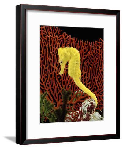 Golden Seahorse, Portraits, UK-Jane Burton-Framed Art Print