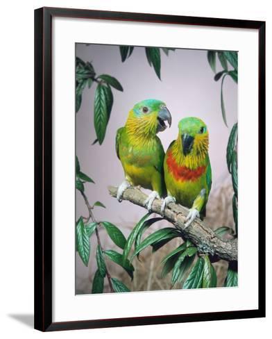 Salvadori's Fig Parrots, Pair (Psittaculirostris Salvadorii)-Reinhard-Framed Art Print