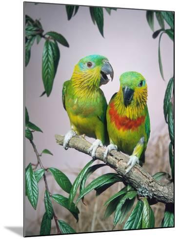 Salvadori's Fig Parrots, Pair (Psittaculirostris Salvadorii)-Reinhard-Mounted Photographic Print