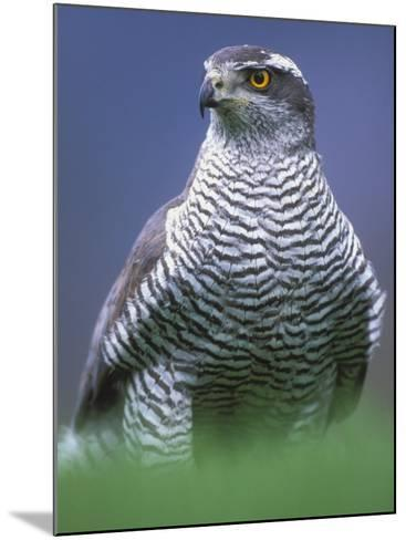 Northern Goshawk, Male Close-Up, Scotland-Pete Cairns-Mounted Photographic Print