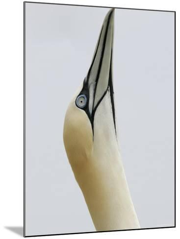 Northern Gannet, in Display Posture, Bass Rock, Scotland, UK-Pete Cairns-Mounted Photographic Print
